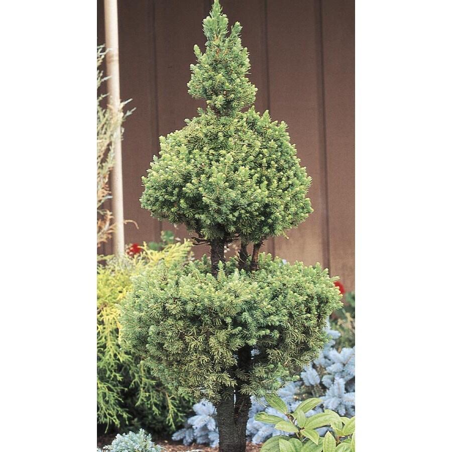 2.25-Gallon Poodle Dwarf Alberta Spruce Feature Tree (L2796)