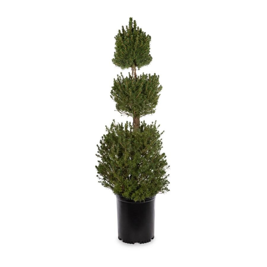 3.25-Gallon Poodle Dwarf Alberta Spruce Feature Tree (L2796)