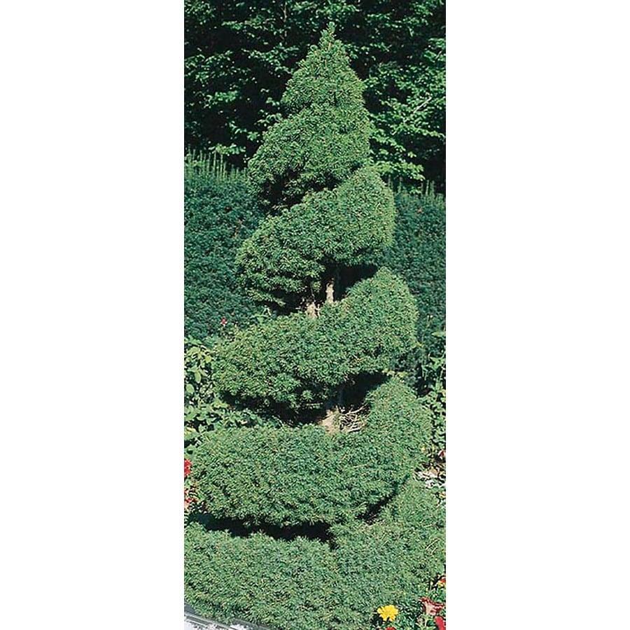 3.25-Gallon Spiral Dwarf Alberta Spruce Feature Tree (L7230)