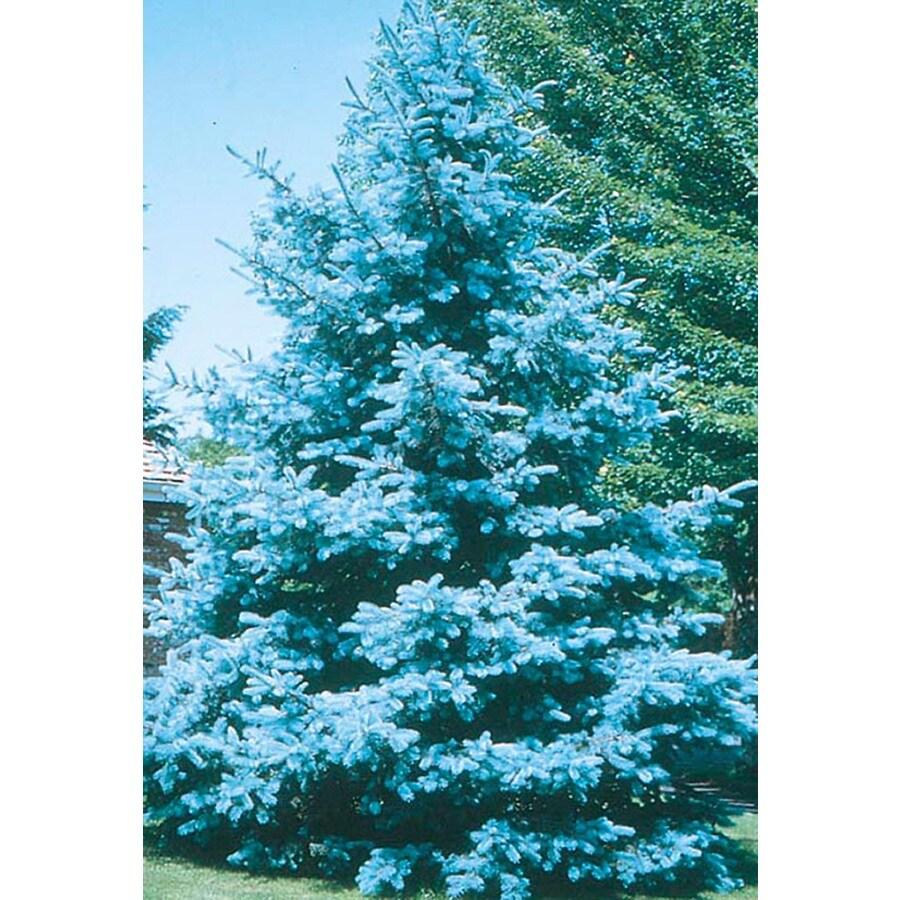 8.75-Gallon Bacheri Blue Spruce Feature Tree (LW02136)