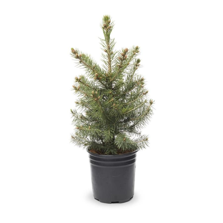 2.5-Quart Colorado Blue Spruce Feature Tree (L3937)