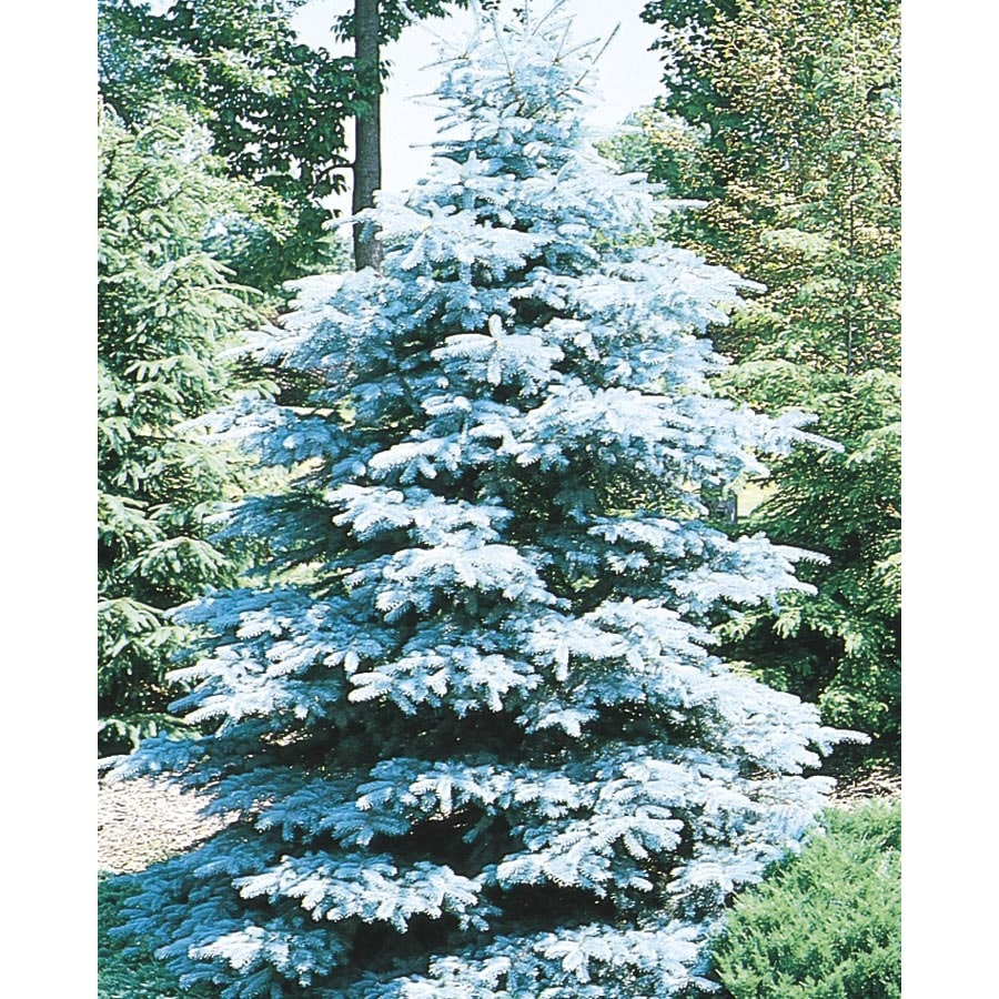 8-Gallon HooPSI Blue Spruce Feature Tree (L4101)