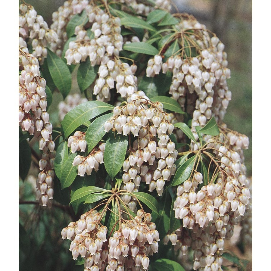 2-Gallon White Japanese Pieris Flowering Shrub (L5402)