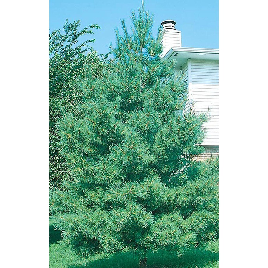 3.25-Gallon Eastern White Pine Screening Tree (L3619)