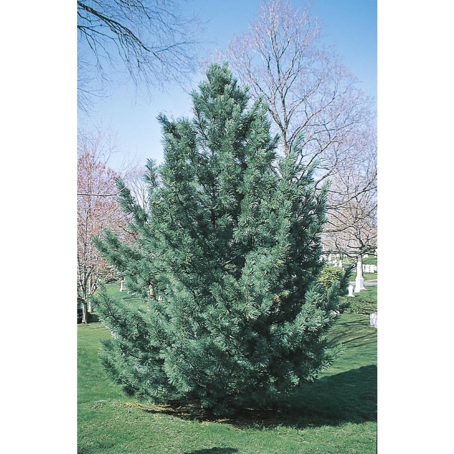 Shop vanderwulf 39 s pyramid limber pine feature for Mature pine trees