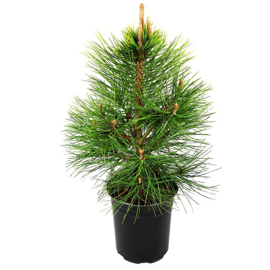 1.5-Gallon Mugo Pine Feature Tree (L14438)