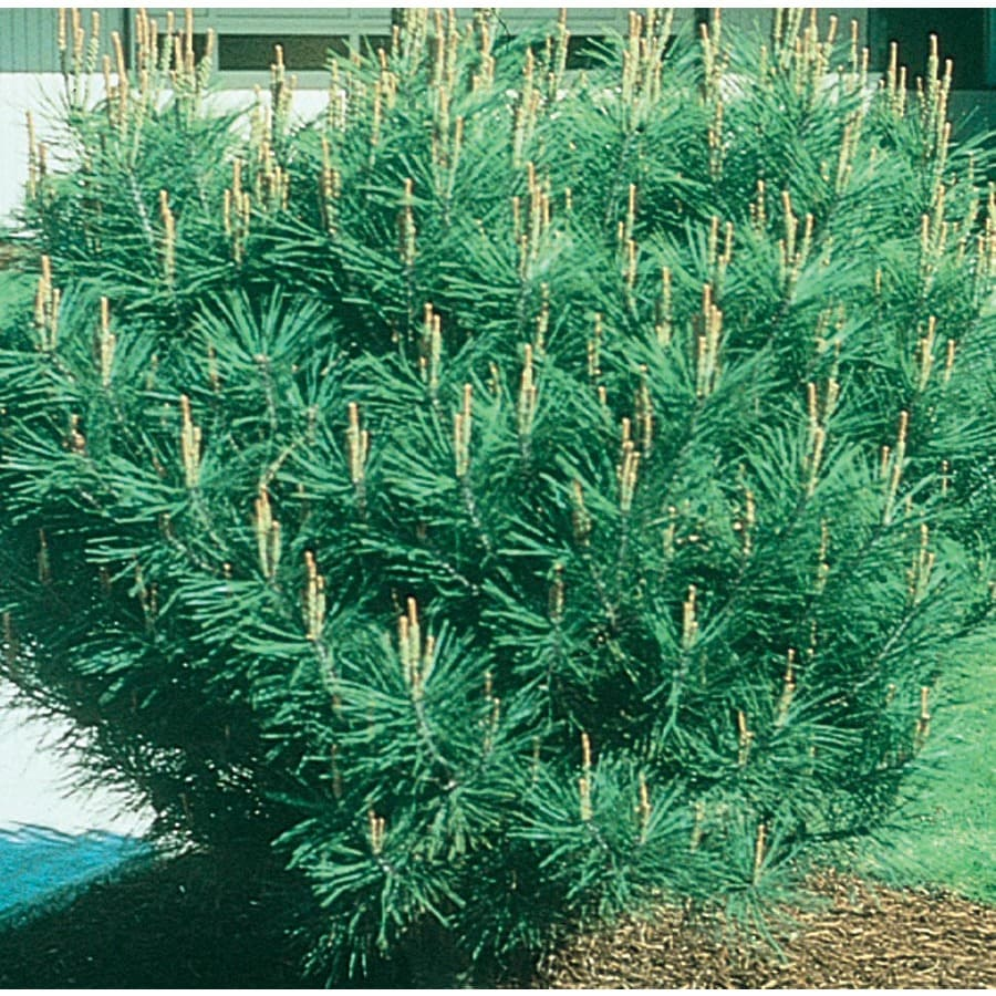 2.25-Gallon Tanyosho Pine Feature Tree (L4808)