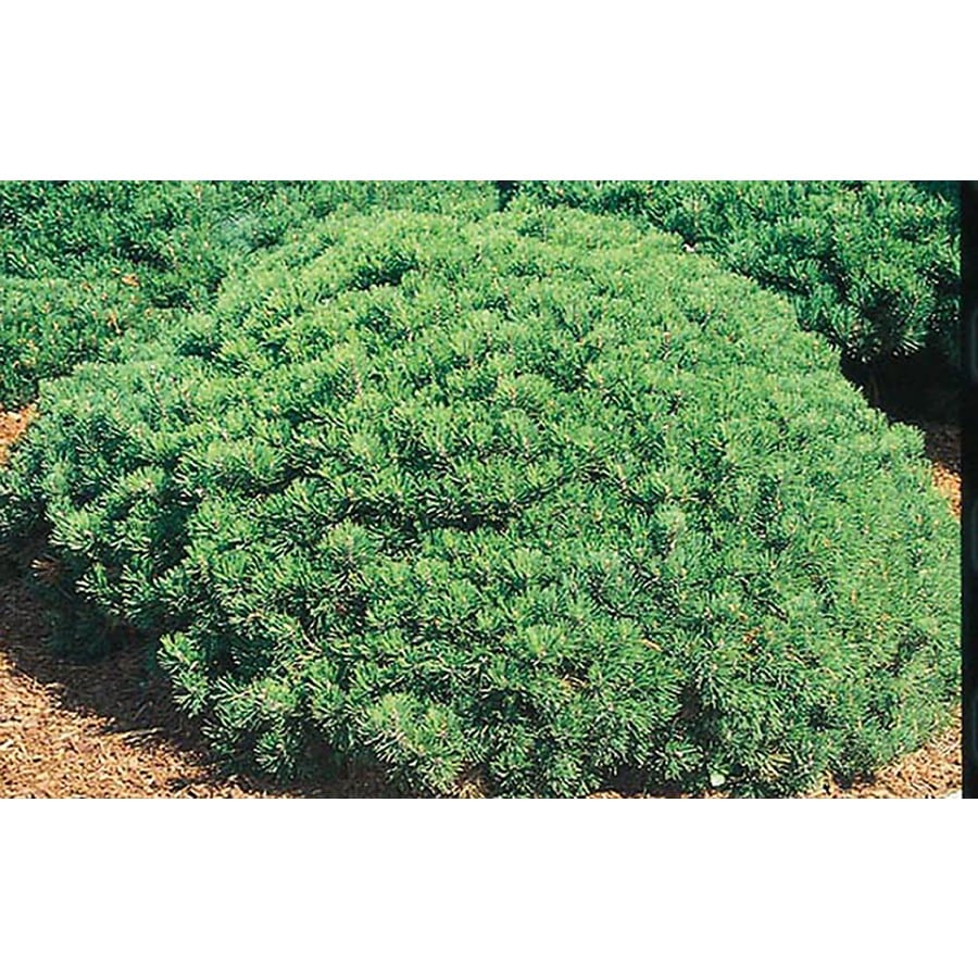 3.25-Gallon Dwarf Mugo Pine Feature Shrub (L4809)