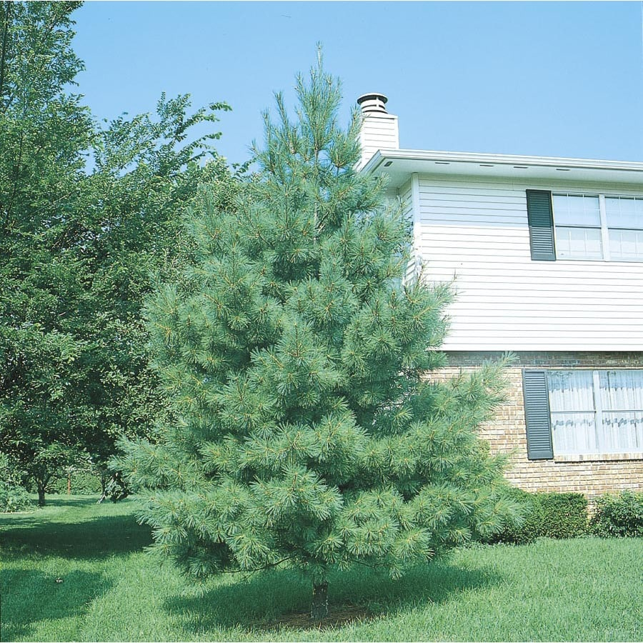 1.5-Gallon Eastern White Pine Screening Tree (L3619)