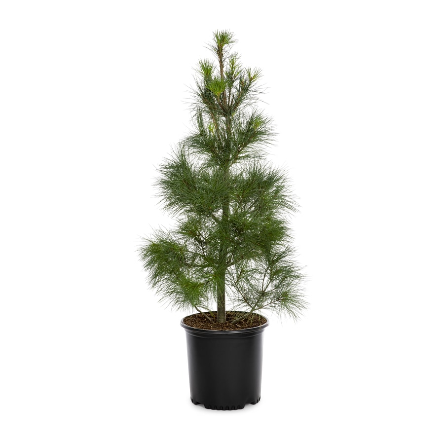 2.25-Gallon Eastern White Pine Screening Tree (L3619)