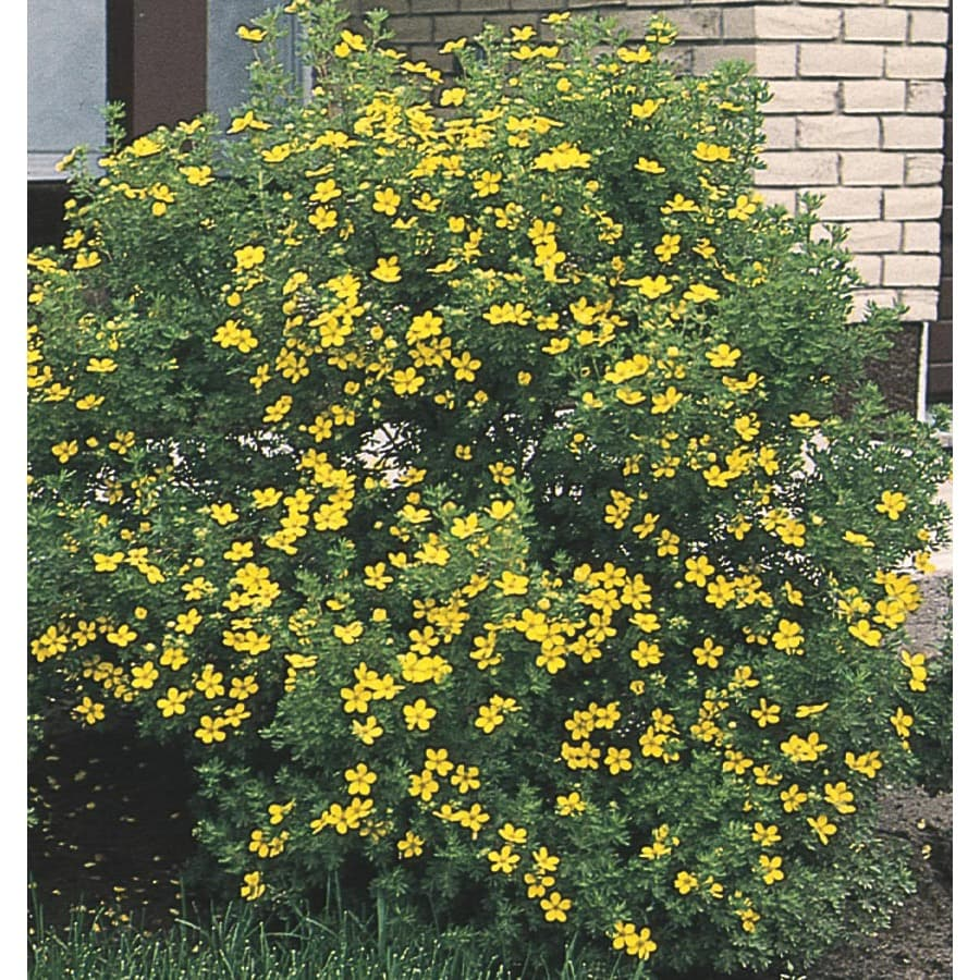1-Gallon Yellow Potentilla Flowering Shrub (L3942)