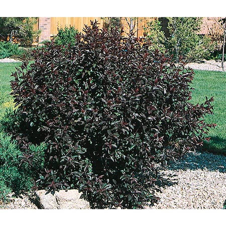1.5-Gallon Pink Sand Cherry Feature Shrub (L9311)