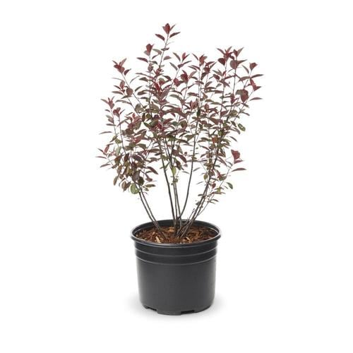 2 Gallon Pink Sand Cherry Feature Shrub In Pot L9311 At