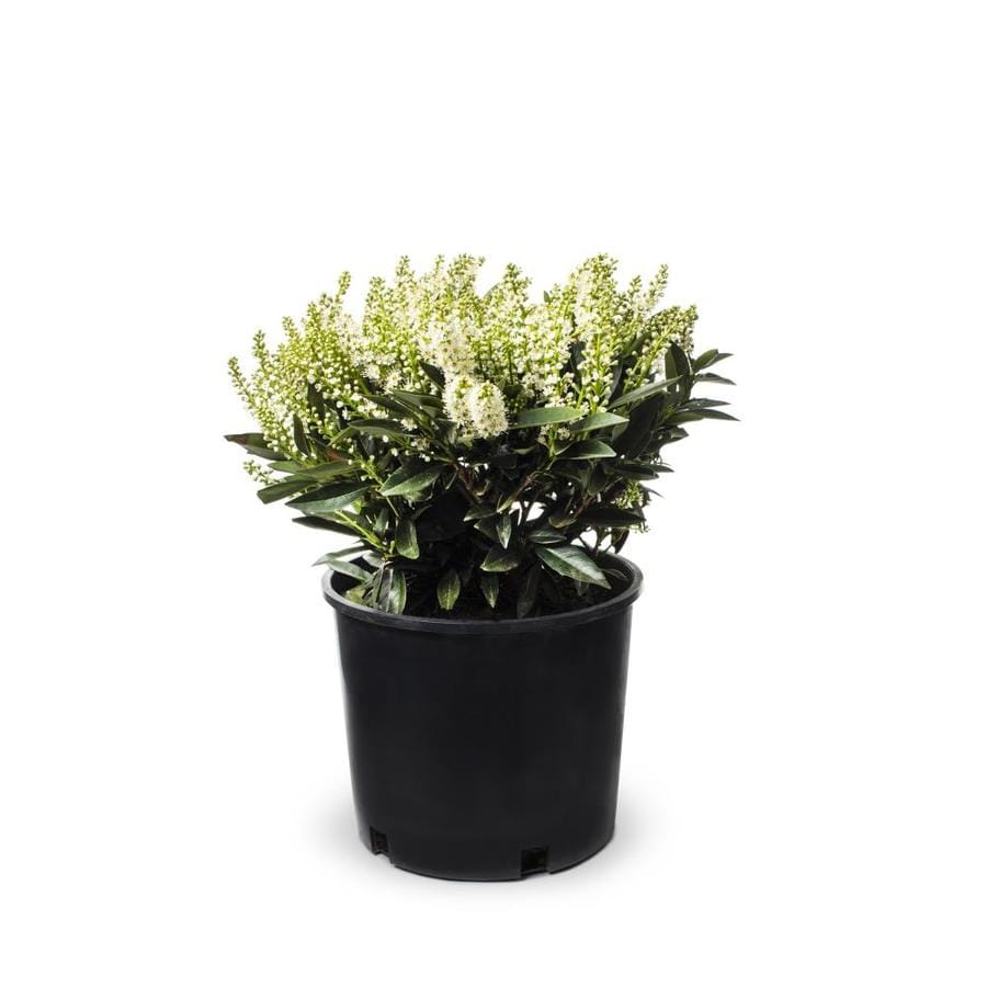 Shop 2 Gallon White Otto Luyken Cherry Laurel Foundation