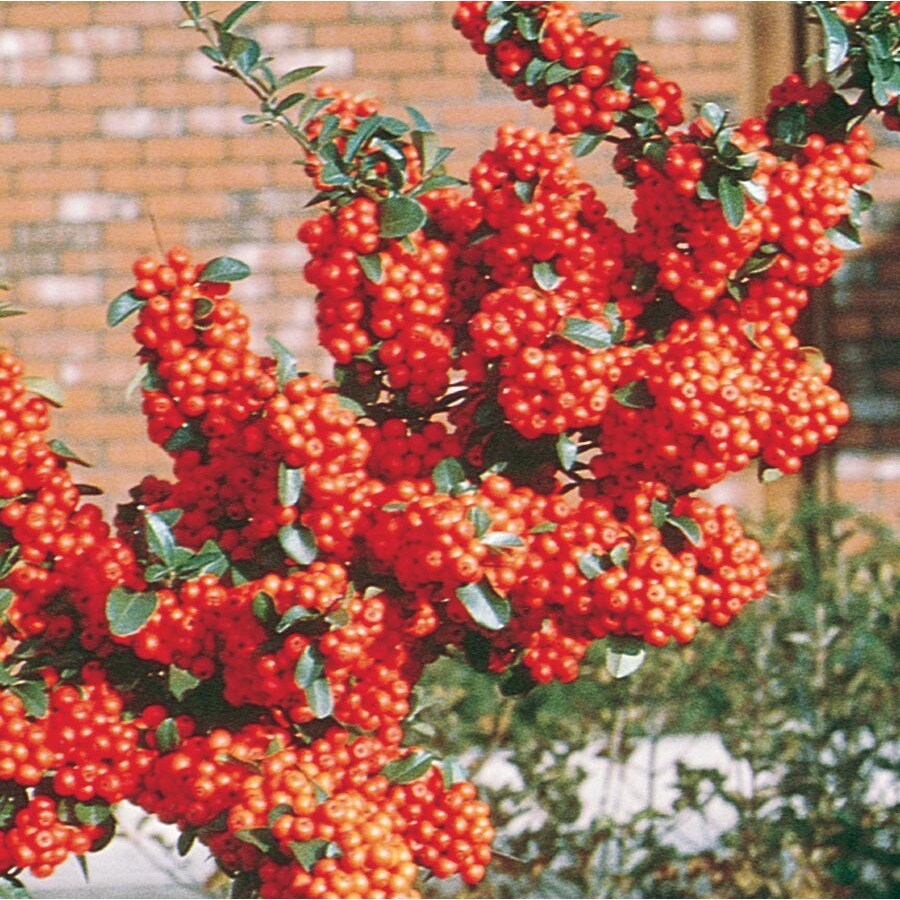 1.5-Gallon White Pyracantha Flowering Shrub (L4567)