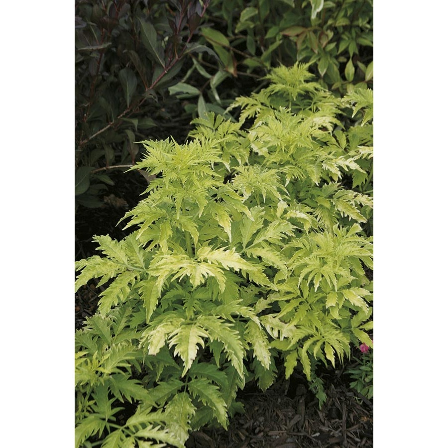 2.25-Gallon Tiger Eyes Staghorn Sumac Feature Tree (LW03328)