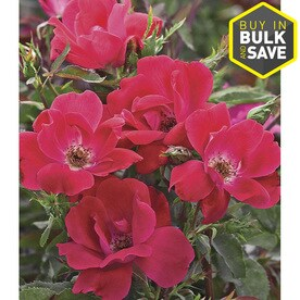 77c86ffbf Knock Out in Red Knock Out Rose (L10923)