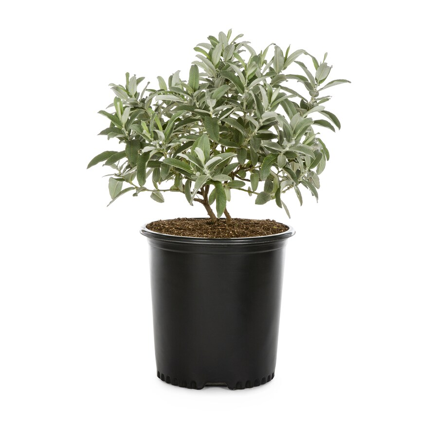 2.25-Gallon Assorted Willows Shade Tree (L11993)