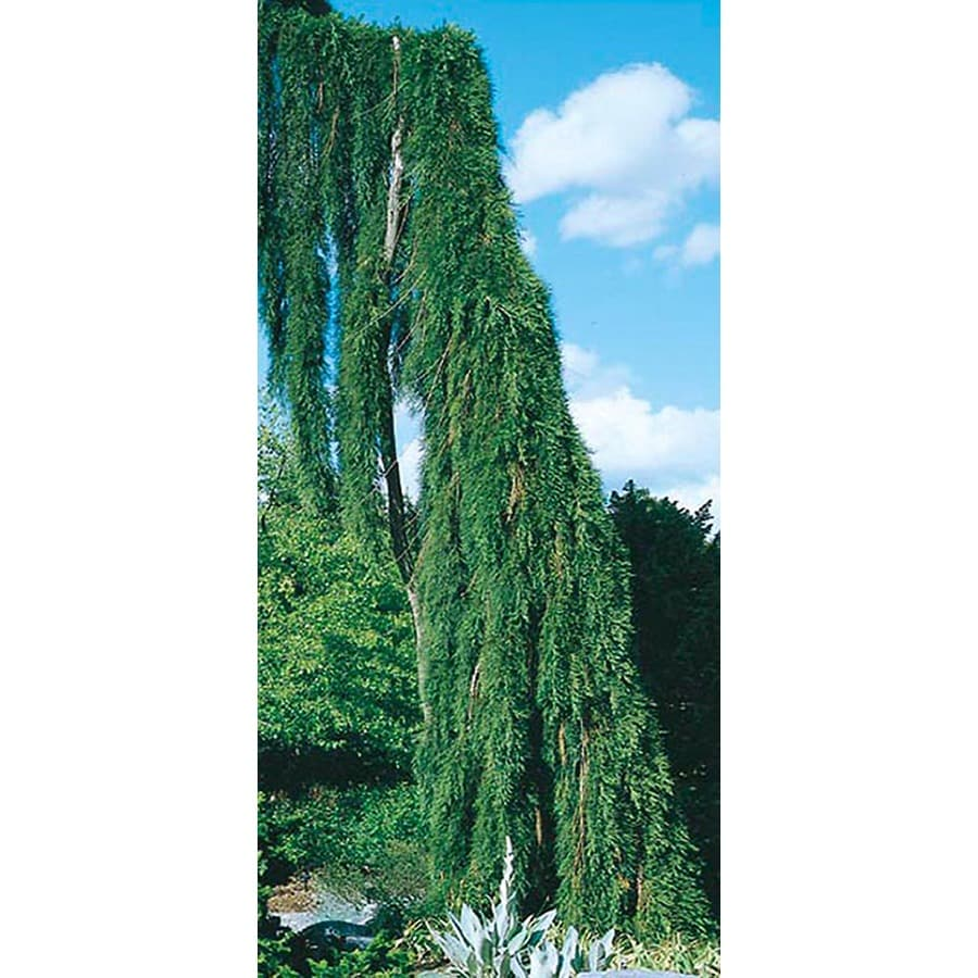8.75-Gallon Weeping Sequoia Feature Tree (L14274)