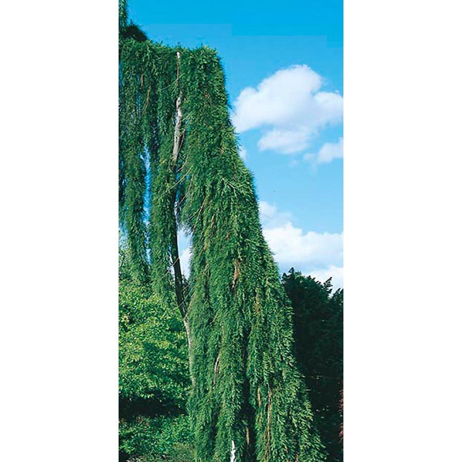 10.25-Gallon Weeping Sequoia Feature Tree (L14274)