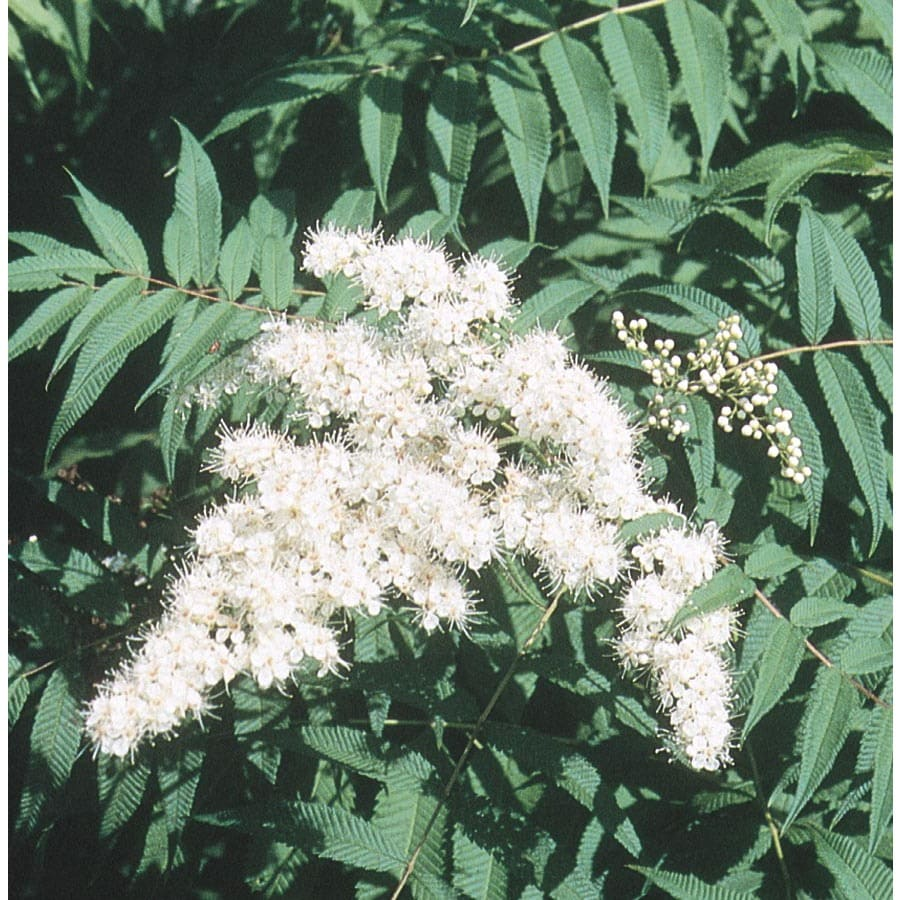 2.25-Gallon White False Spirea Flowering Shrub (L17071)