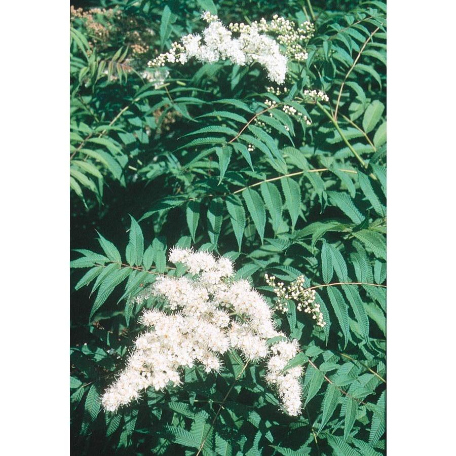 3-Gallon White False Spirea Flowering Shrub (L17071)