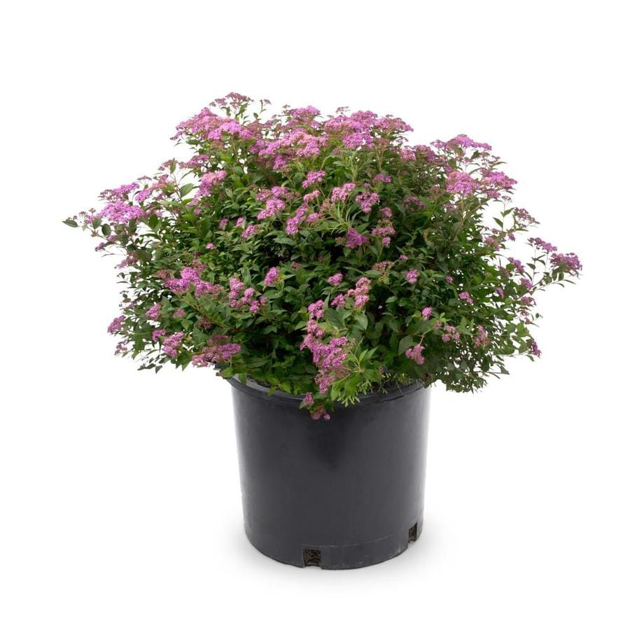 2-Gallon Red Anthony Waterer Spirea Flowering Shrub (L3754)