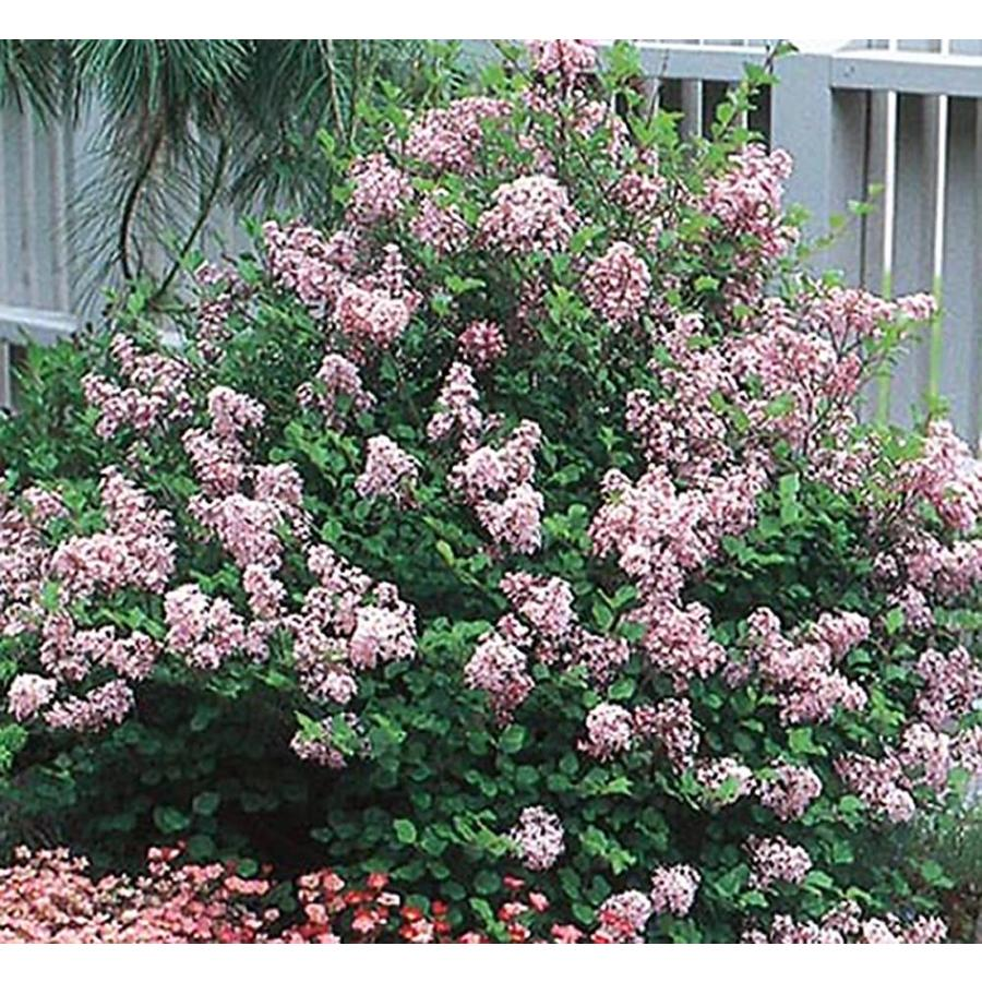2-Quart Lavender Dwarf Korean Lilac Flowering Shrub (L1436)