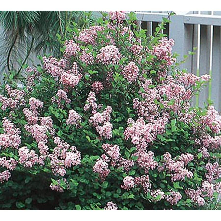 1-Gallon Lavender Dwarf Korean Lilac Flowering Shrub (L1436)