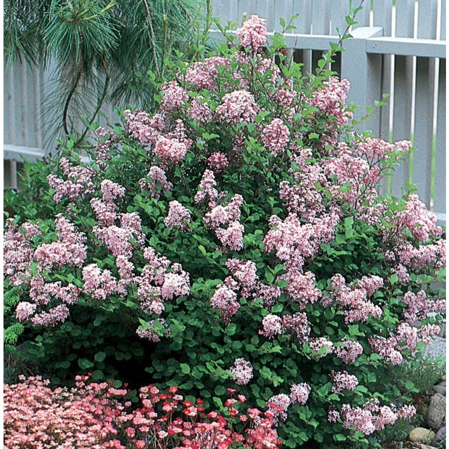 8.75-Gallon Lavender Dwarf Korean Lilac Flowering Shrub (L1436)