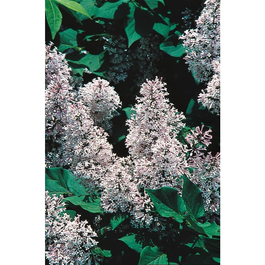 3-Gallon Blue Miss Kim Lilac Flowering Shrub (L1204)