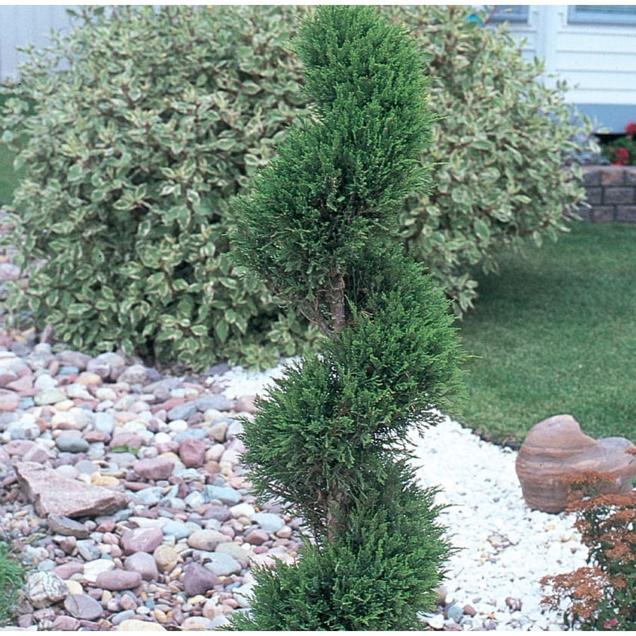 5.5-Gallon Spiral Emerald Beauty Arborvitae Feature Shrub (L9514)