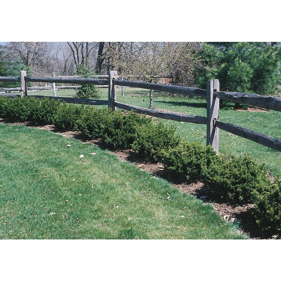2-Gallon Spreading Yew Accent Shrub (L4608)