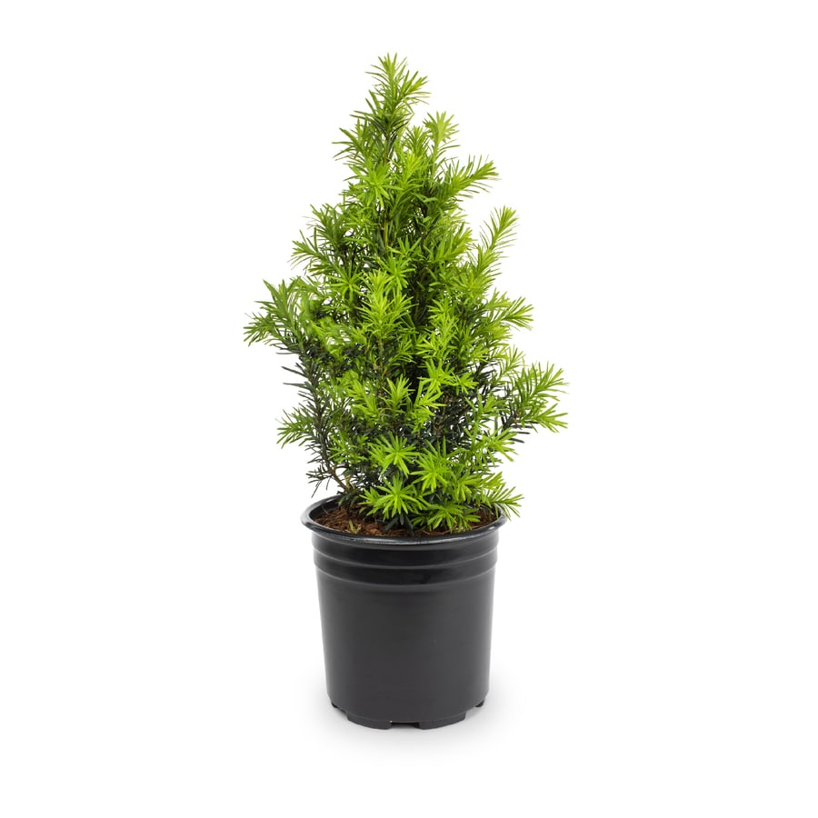 2-Quart Spreading Yew Accent Shrub (L4608)