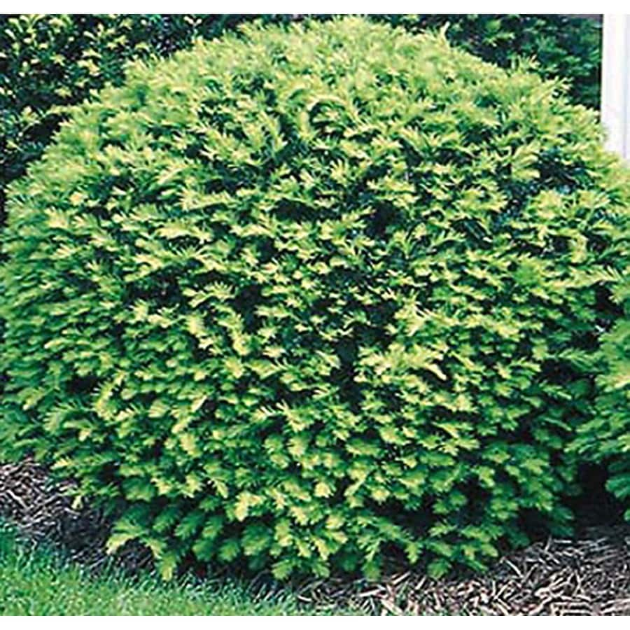 1-Gallon White Globe Yew Foundation/Hedge Shrub (L4606)