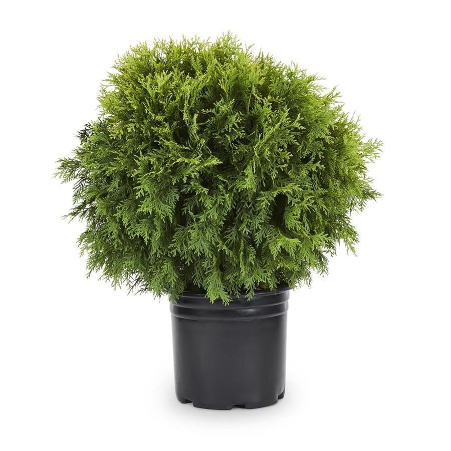 2.25-Gallon Globe Arborvitae Feature Shrub (L4610)