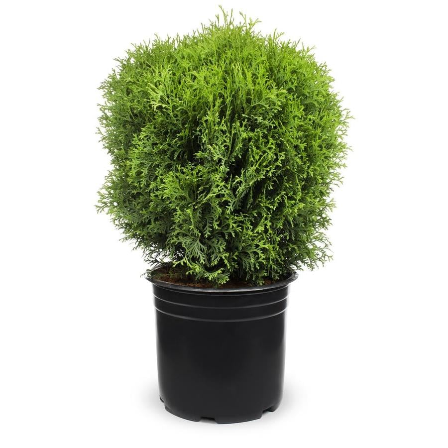 3.25-Gallon Globe Arborvitae Feature Shrub (L4610)