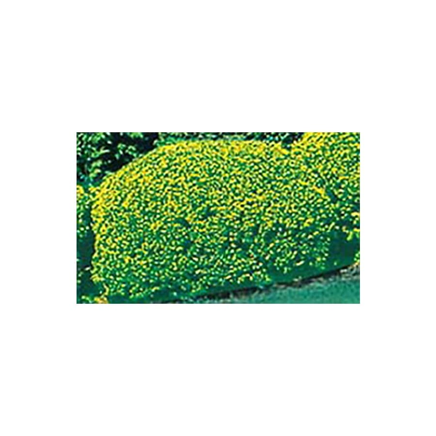 2-Gallon Pyramidalis Arborvitae Screening Shrub (L4219)
