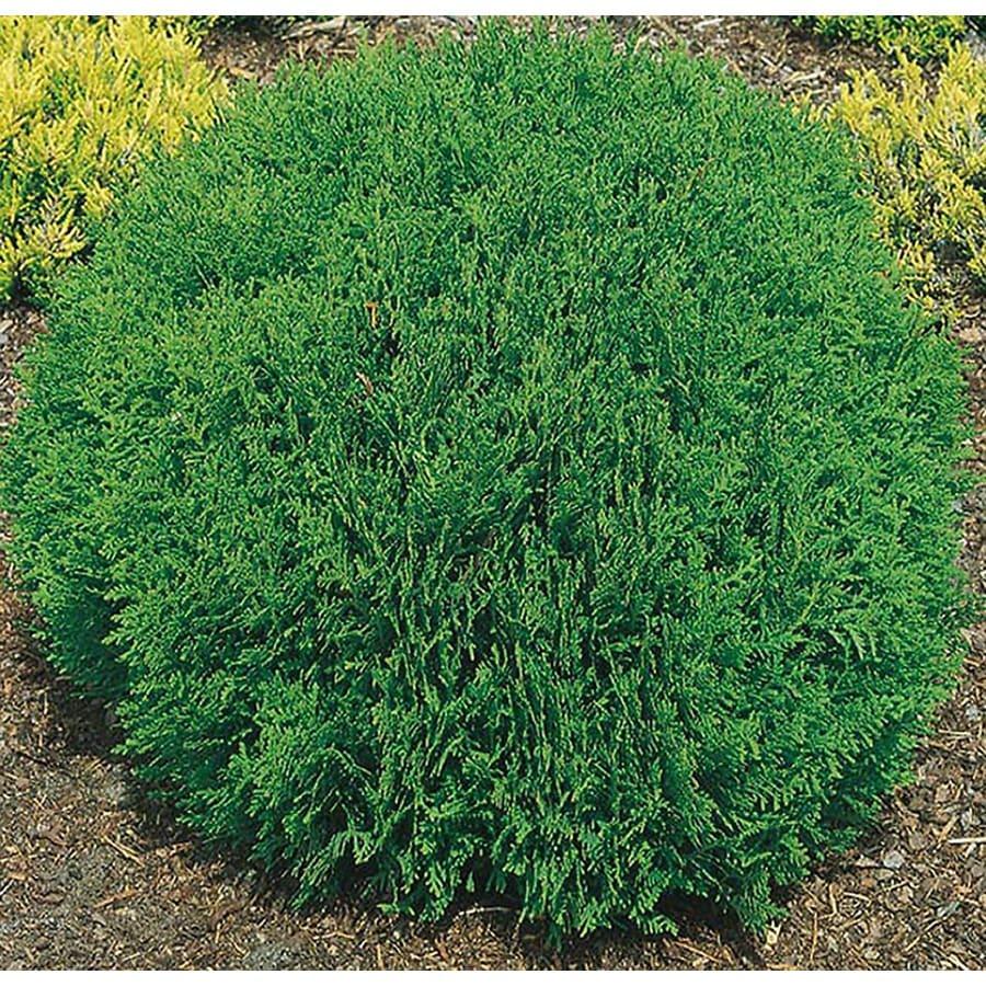 2.5-Quart Danica Arborvitae Accent Shrub (L10563)