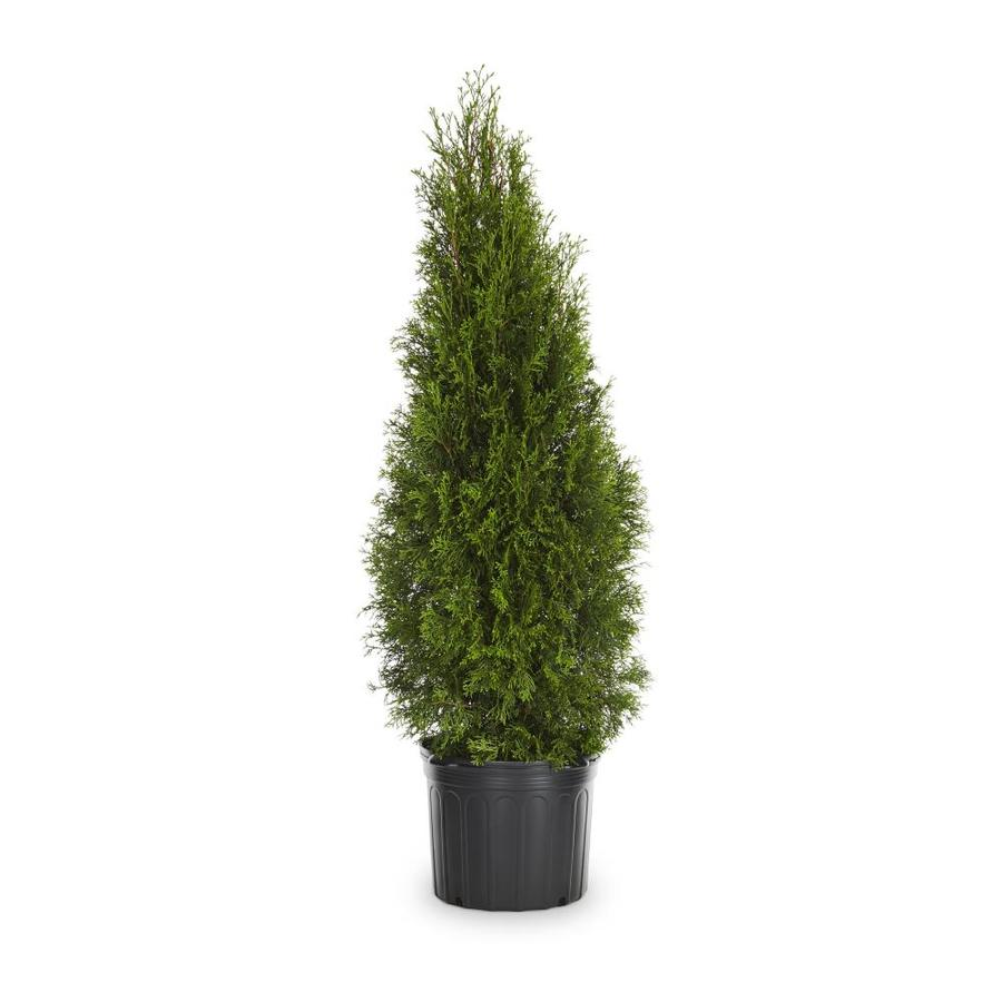 8.75-Quart Emerald Green Arborvitae Screening Shrub (L5480)