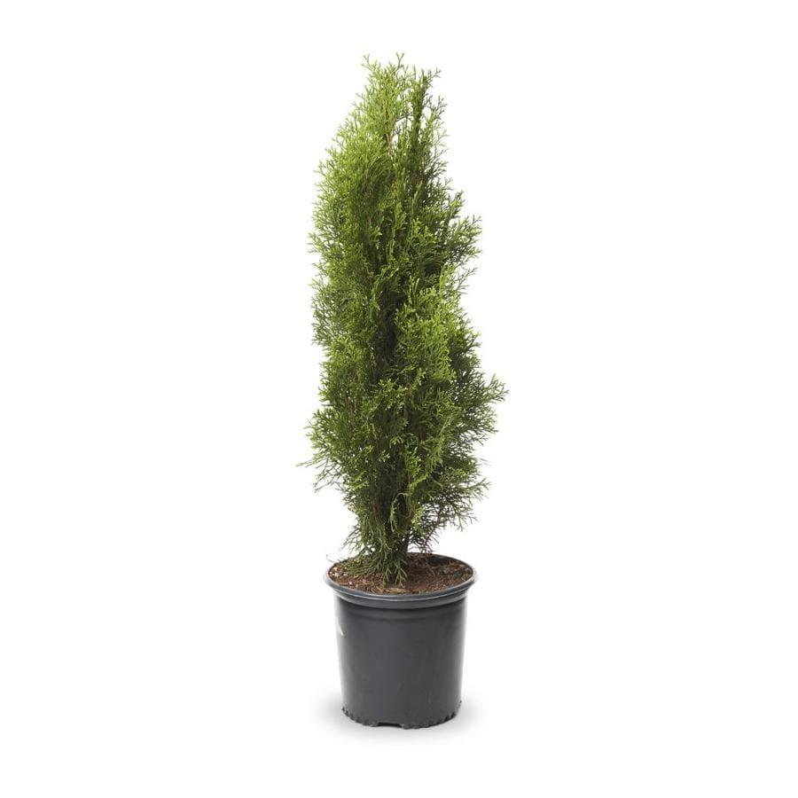 1-Quart Emerald Green Arborvitae Screening Shrub (L5480)