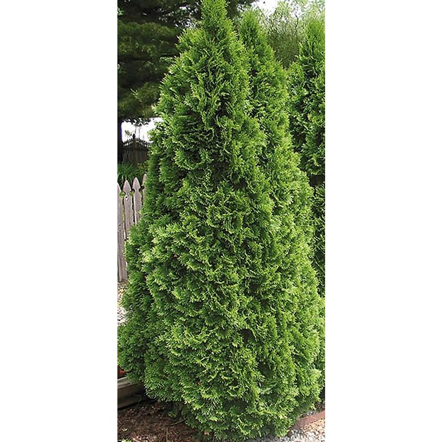 5-Quart Emerald Green Arborvitae Screening Shrub (L5480)