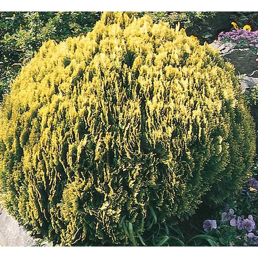 2.25-Gallon Golden Globe Arborvitae Accent Shrub (L3952)