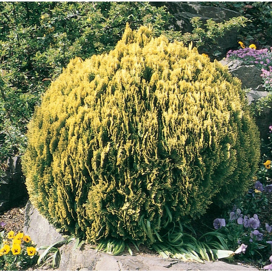 5.5-Gallon Golden Globe Arborvitae Accent Shrub (L3952)