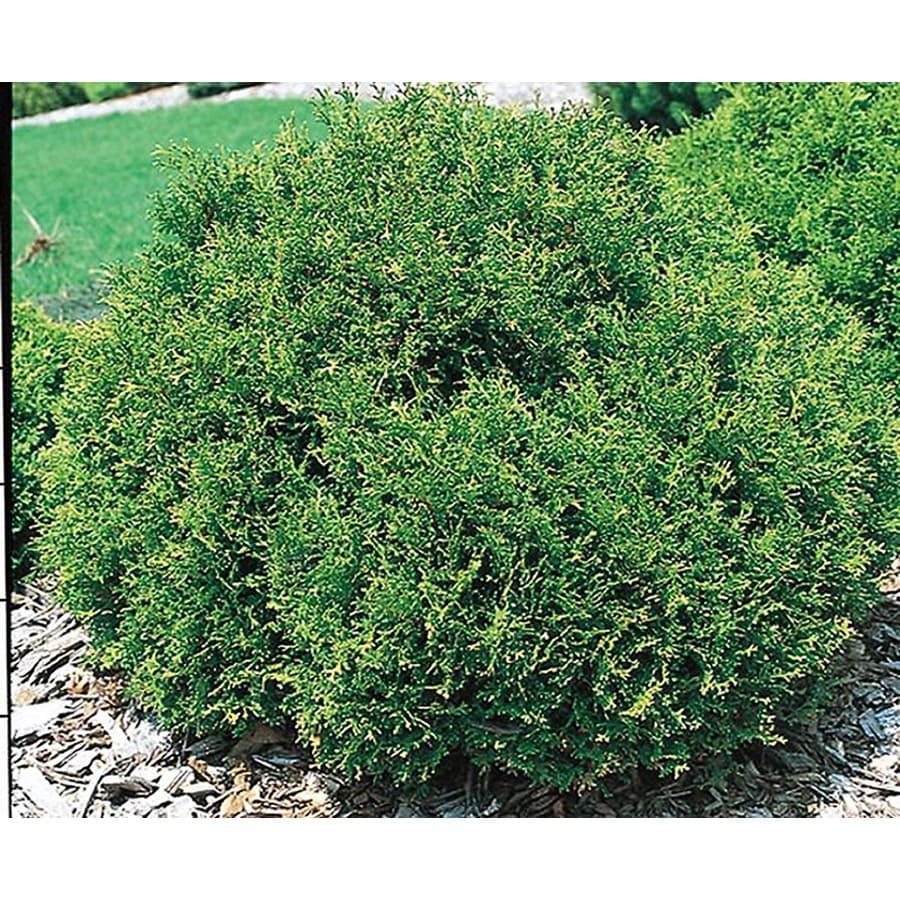 3-Quart Hetz Midget Arborvitae Accent Shrub (L5389)