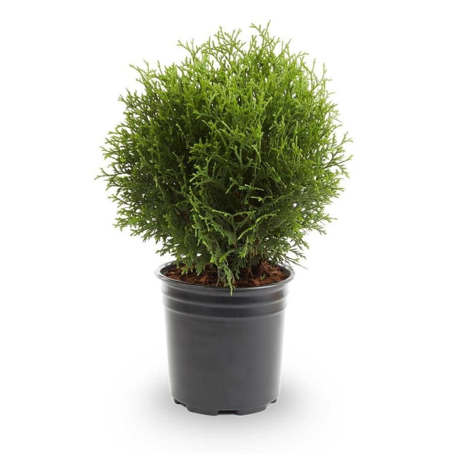 2-Quart Little Giant Arborvitae Accent Shrub (L3764)