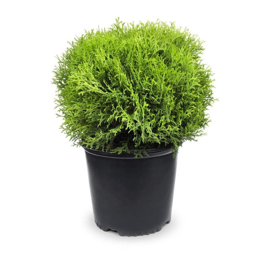 1.5-Gallon Little Giant Arborvitae Accent Shrub (L3764)