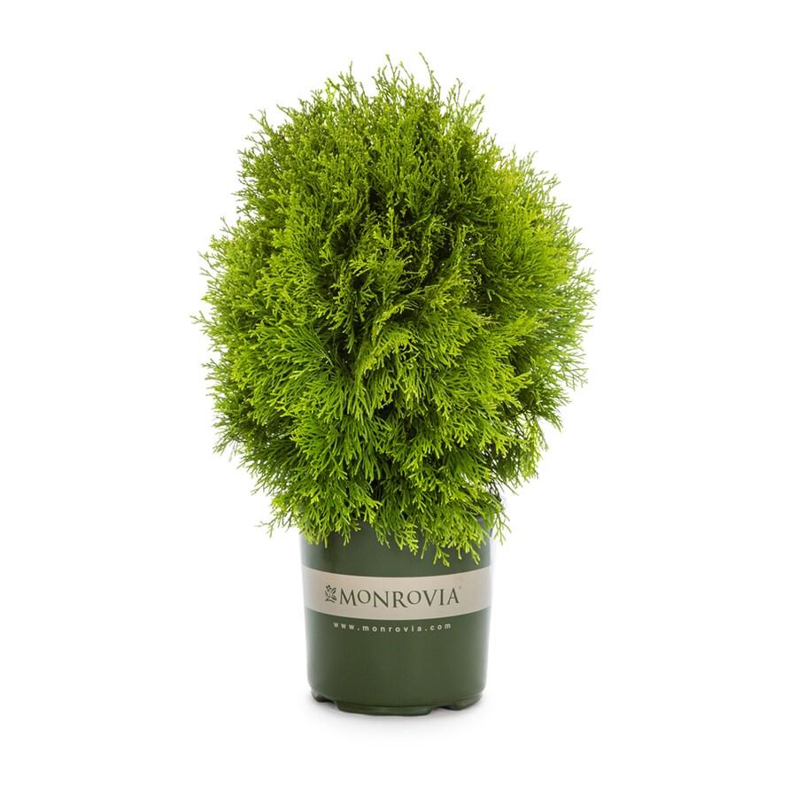 Monrovia 1.6-Gallon Arborvitae 'Janed Gold' Foundation/Hedge Shrub