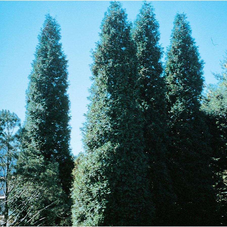 10-Gallon Green Giant Arborvitae Screening Shrub (Lw01577)