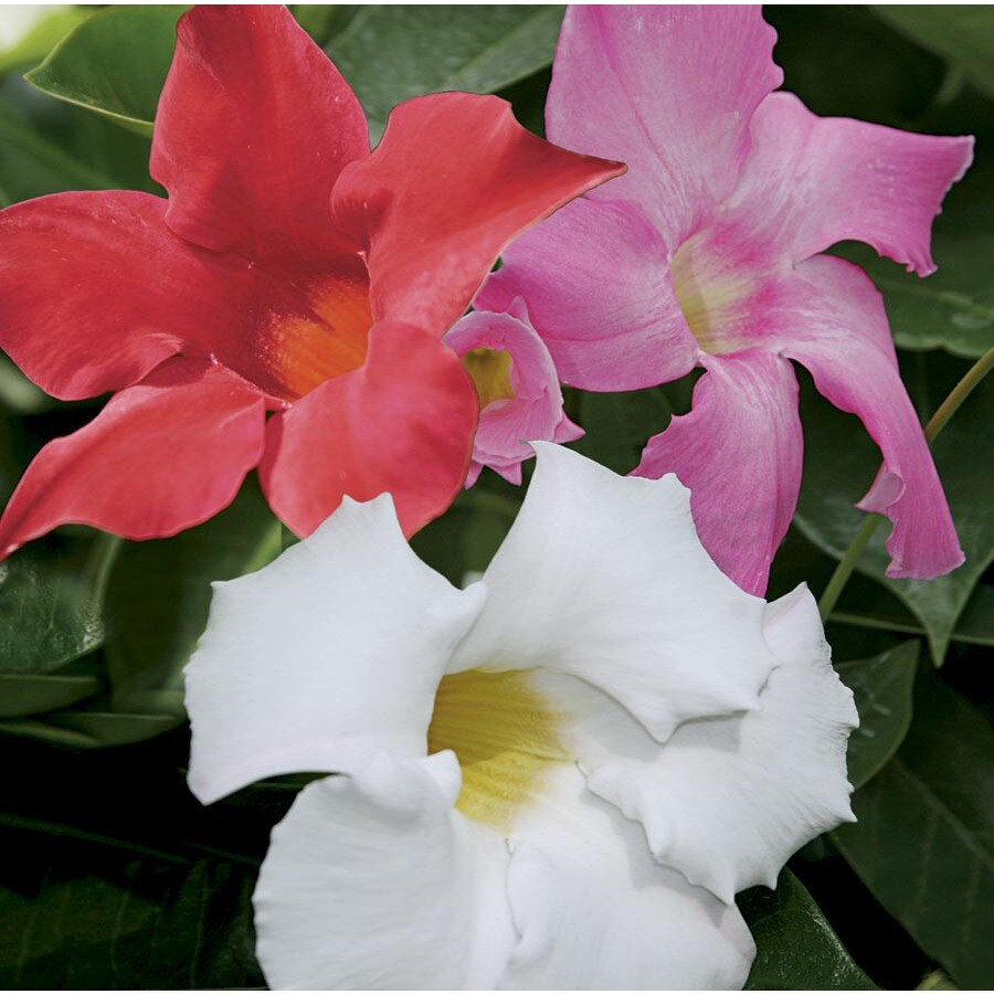 3.25-Gallon Mandevilla (L10440)